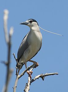 Birds Night Heron 15042011 236.JPG