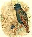 Birds of Great Britain and Ireland (1907) (14755243415).jpg