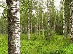 BirkenwaldFinnland