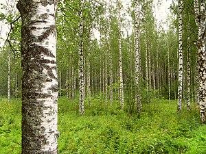 BirkenwaldFinnland.jpg