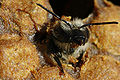 Birth of black bee (Apis mellifera mellifera)3bis.jpg