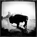 Bison at Yellowstone.jpg