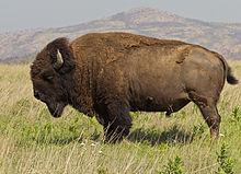 bison - photo #13