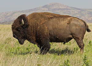 American bison - Male plains bison in the Wichita Mountains of Oklahoma
