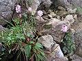 Bistorta hayachinensis 1.JPG