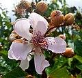 Bixa orellana flowers 01.jpg