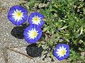 Blüten der Convolvulus tricolor.JPG
