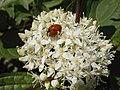 Blüten uf 009be wp marienenkäfer.jpg