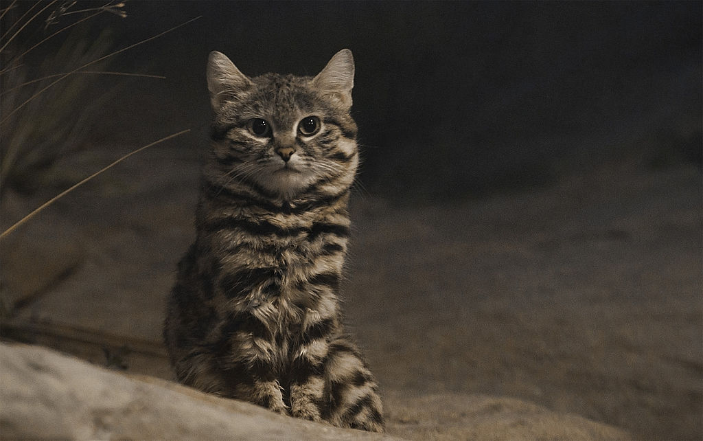 By Jonathan Kriz - Black-Footed Cat, CC BY 2.0, https://commons.wikimedia.org/w/index.php?curid=26747763