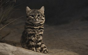 Black-Footed Cat-BrookfielZoo2.jpg