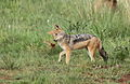 Black-backed jackal, Canis mesomelas, a young one playing with a root as a puppy plays with a ball at Rietvlei Nature Reserve, Gauteng, South Africa (15851479769).jpg