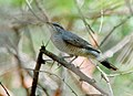 Black-headed Cuckooshrike (Coracina melanoptera)- Female W IMG 7598.jpg