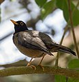 Black-hooded Thrush - Paraulata Cabecinegra (Turdus olivater olivater) Waraira Repano National Park.jpg
