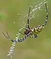 Black-lobed Garden Orb-web Spider (Argiope lobata) with prey (13624879363).jpg