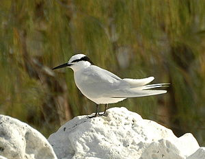 Black-naped Tern LEI.JPG