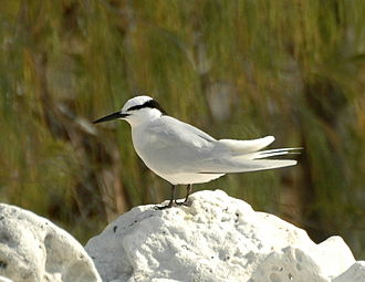 Black-naped tern - Lady Elliot Island, Queensland, Australia