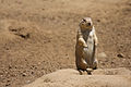 Black-tailed Prairie Dog (standing).jpg