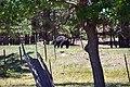 Black Bear (28084910777).jpg