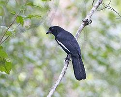Black Magpie Platysmurus leucopterus.jpg