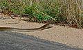 Black Mamba (Dendroaspis polylepis) (6002021427).jpg