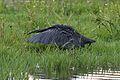 Black heron, Egretta ardesiaca, at Marievale Nature Reserve, Gauteng, South Africa (29613628333).jpg