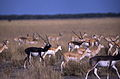 Blackbucks (Antilope cervicapra) (19726308174).jpg
