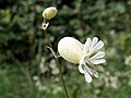 Bladder Campion (Silene vulgaris) - geograph.org.uk - 480294.jpg