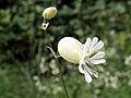 Bladder Campion (Silene vulgaris) - geograph.org.uk - 480294.jpg