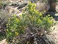 Bladderpod (Peritoma arborea); Indian Cove Nature Trail - 12525811913.jpg