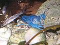 Blauer Floridakrebs B004.jpg