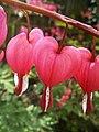 Bleeding Hearts (Serduszka Okazałe).jpg