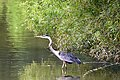 Blue Heron 4.jpg
