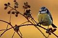 Blue Tit - flickr 2.jpg