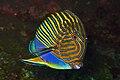 Blue lined Surgeonfish - Acanthurus lineatus.jpg