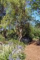 Bluebells @ Winter Garden, Hillier Gardens (4655285581).jpg