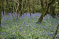 Bluebells in the woods to the north of Cowlands Creek - geograph.org.uk - 1310897.jpg