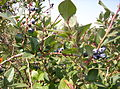 Blueray Blueberry Bush.JPG