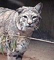 Bobcat (2146603207).jpg