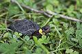 Bog turtle (18553965520).jpg