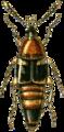 Boletobius lunulatus Jacobson.png