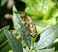 Bombyliidae, Villa species - Flickr - gailhampshire.jpg