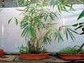 Bonsai tree bamboo.JPG