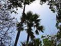 Borassus aethiopum 0043.jpg