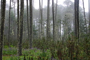Madrean pine-oak woodlands - Madrean pine-oak woodlands in the Sierra Madre de Oaxaca, México.