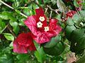 Bougainvillea spectabilis flower.jpg