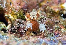 Boxer Crab carrying eggs - Lybia tessellata (cropped).jpg