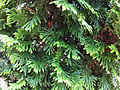 Branches on an evergreen shrub in the Genevieve Green Gardens at the Ewing Cultural Center.jpg