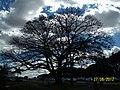 Brasília DF Brasil - Paineira, árvore tombada, em frente ao TJDF - panoramio.jpg