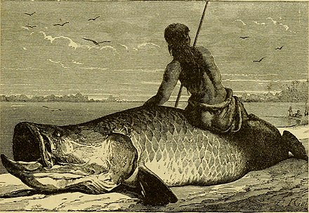Arapaima is 23 million years old, dating back to the Miocene Brazil, the Amazons and the coast (1879) (14780994814).jpg