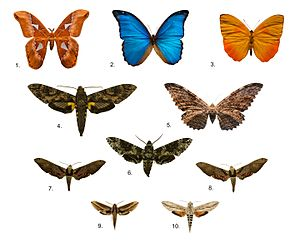 Museum of Zoology of the University of São Paulo - Brazilian butterfly collection